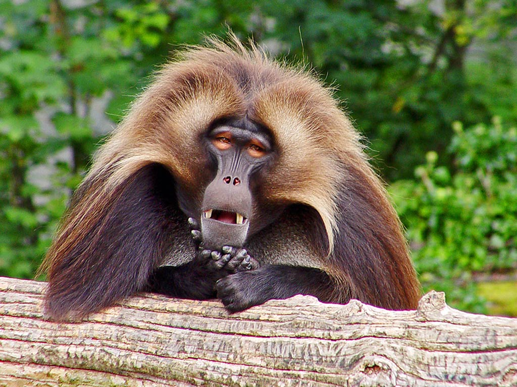Baboon Wallpapers - Animals Town