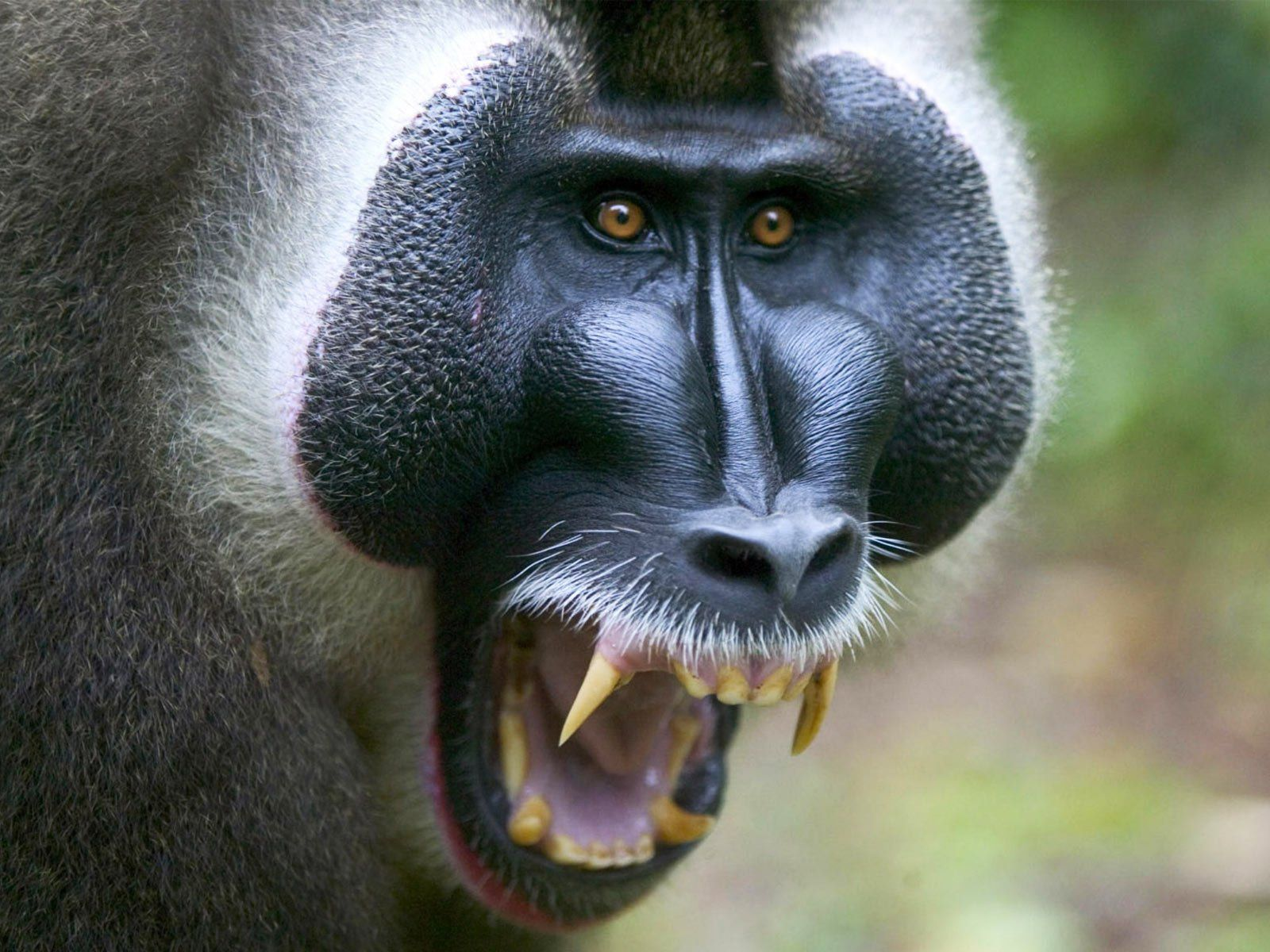 6 Baboon HD Wallpapers | Backgrounds - Wallpaper Abyss