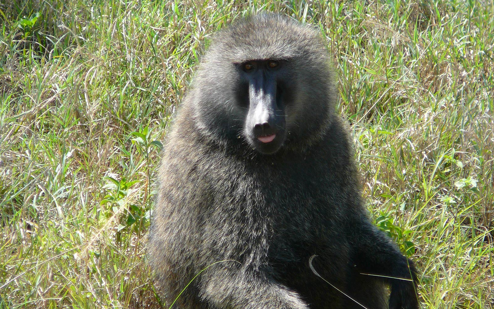 Yellow Baboon Wallpaper and Background - Animals Town