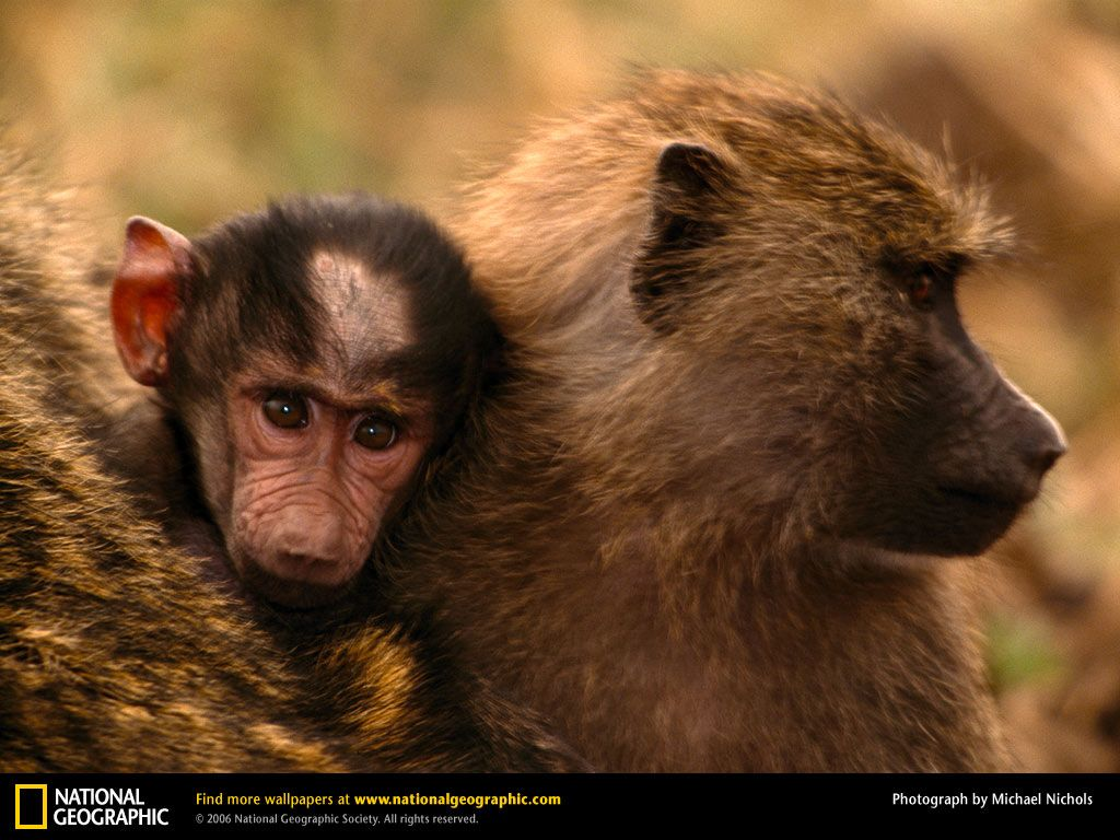 Baboon Picture, Baboon Desktop Wallpaper, Free Wallpapers ...