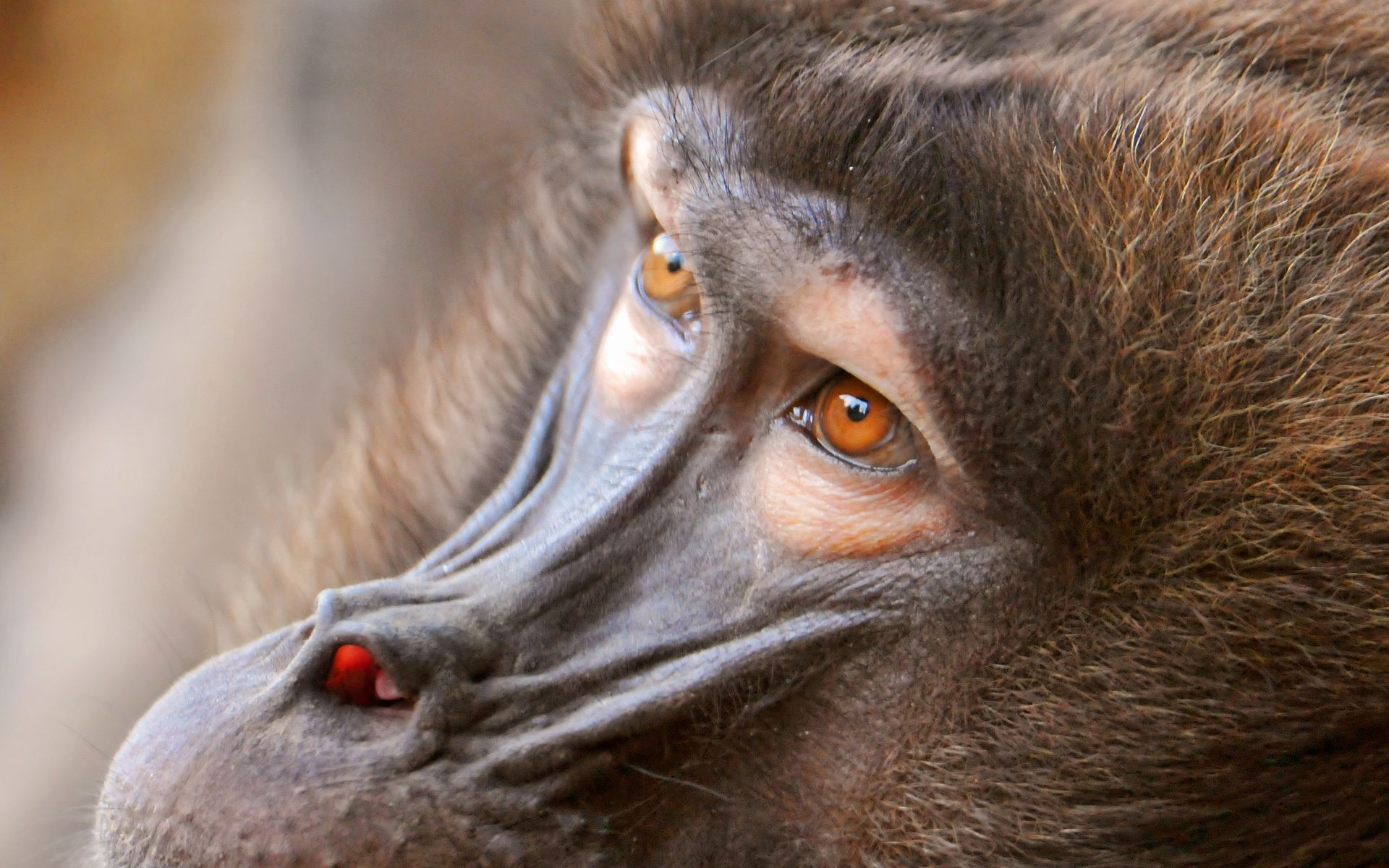 Baboon Animal Eyes Wallpaper 59962 1920x1200 px ~ HDWallSource.com
