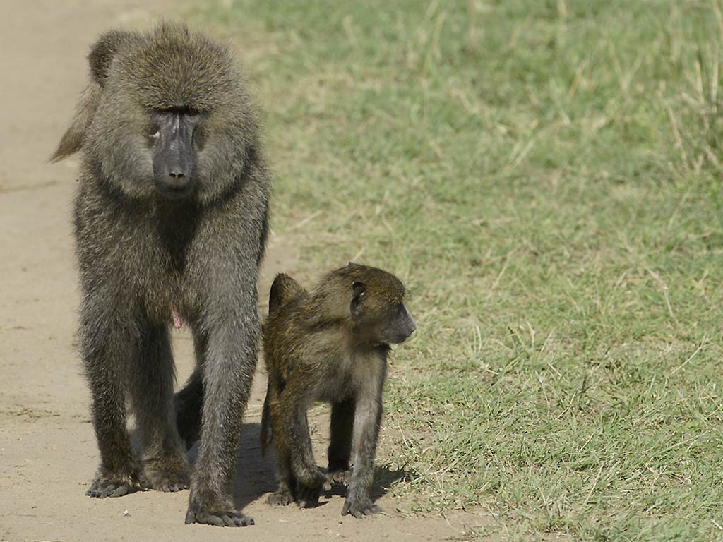 Baboon Wallpaper - Animals Town