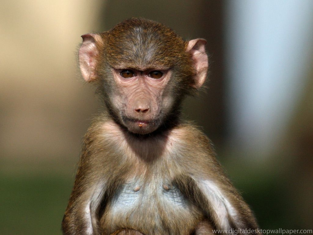 baboon wallpaper 2 | One Wallpaper Online