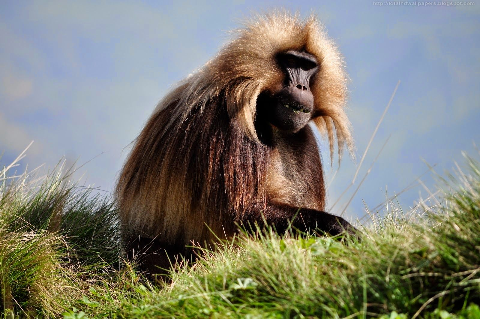 Kamal Shah: Gelada baboon HD Wallpapers