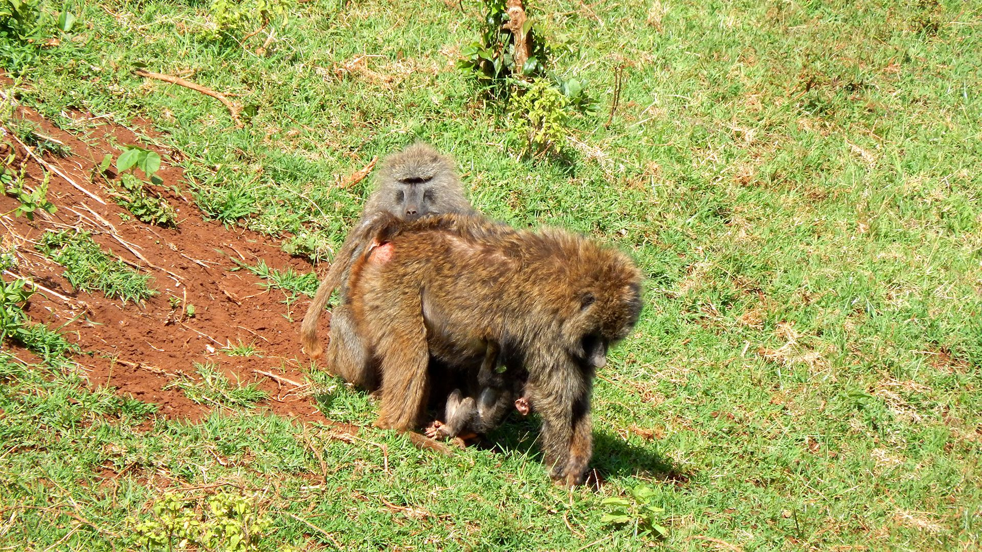 Download A Safari Wallpaper Of A Baboon Family Absolutely Free