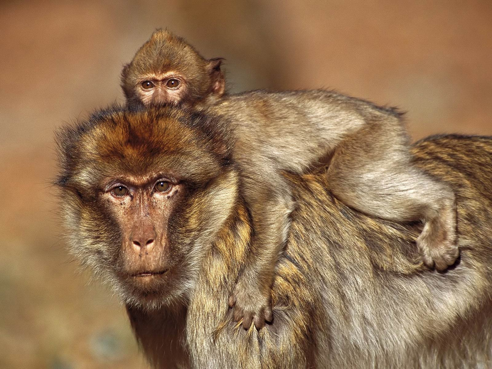 Free Yellow Baboon Wallpaper download - Animals Town