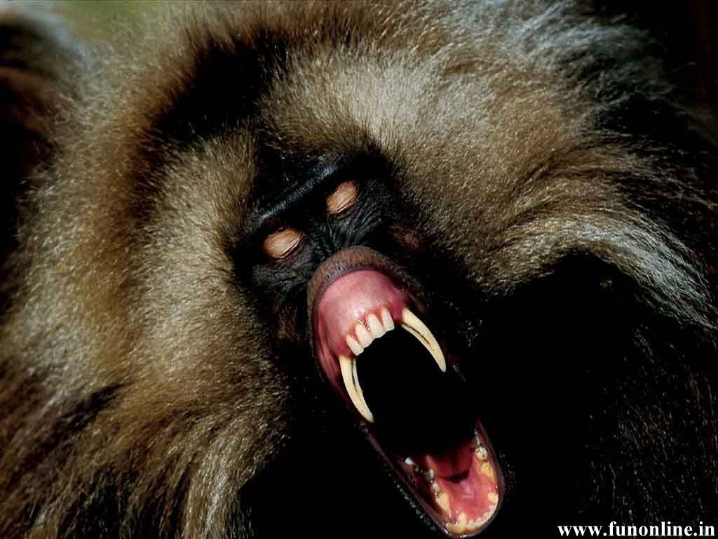 Images of Baboon Wallpapers Download Wild - #SC