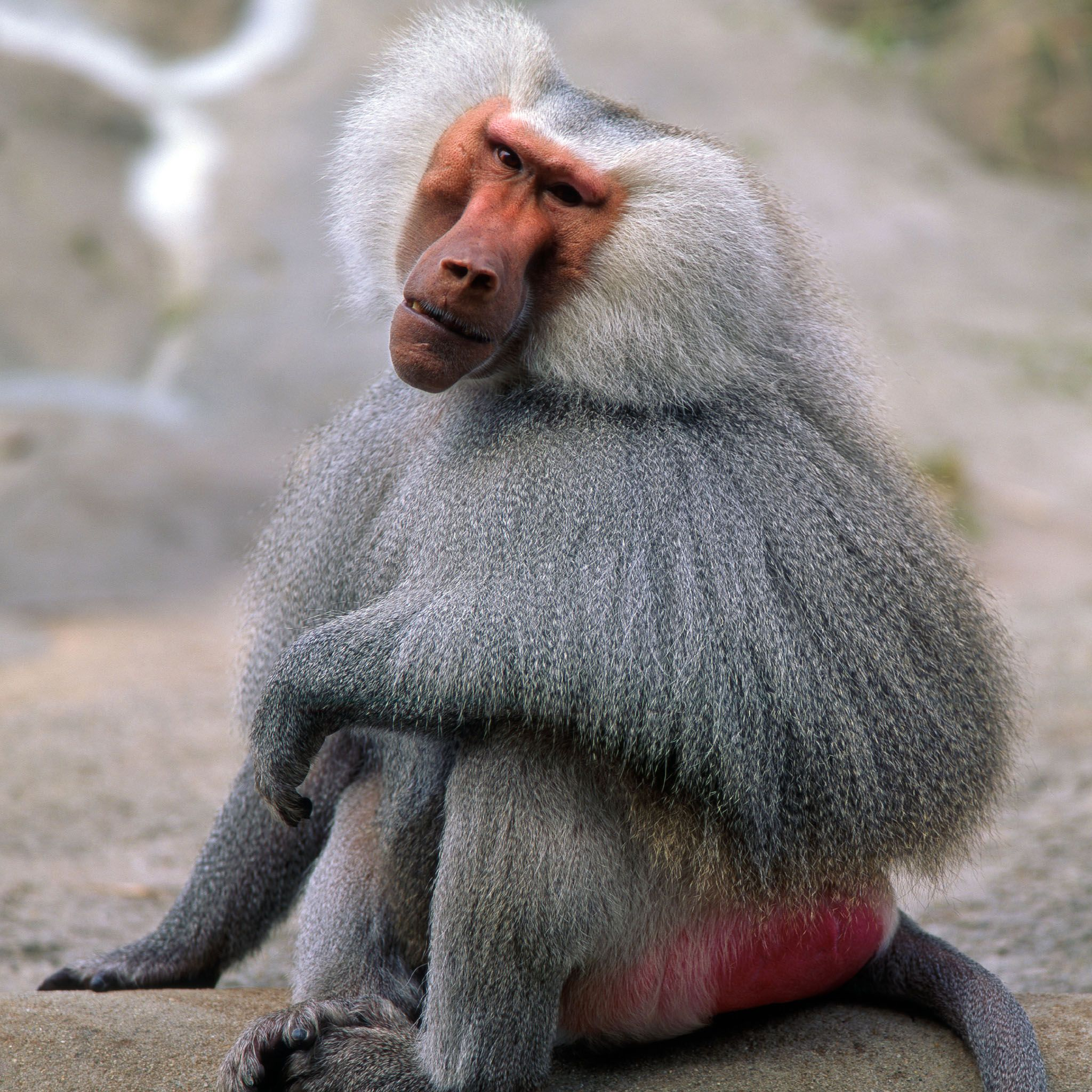 Baboon | Baboon Grey 2048 x 2048 iPod 3 wallpapers, backgrounds ...