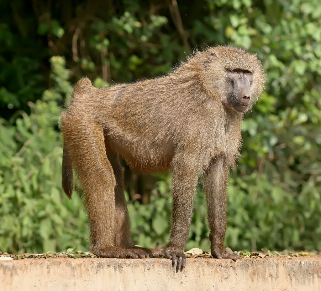 Baboon Wallpapers | WallMaya.com