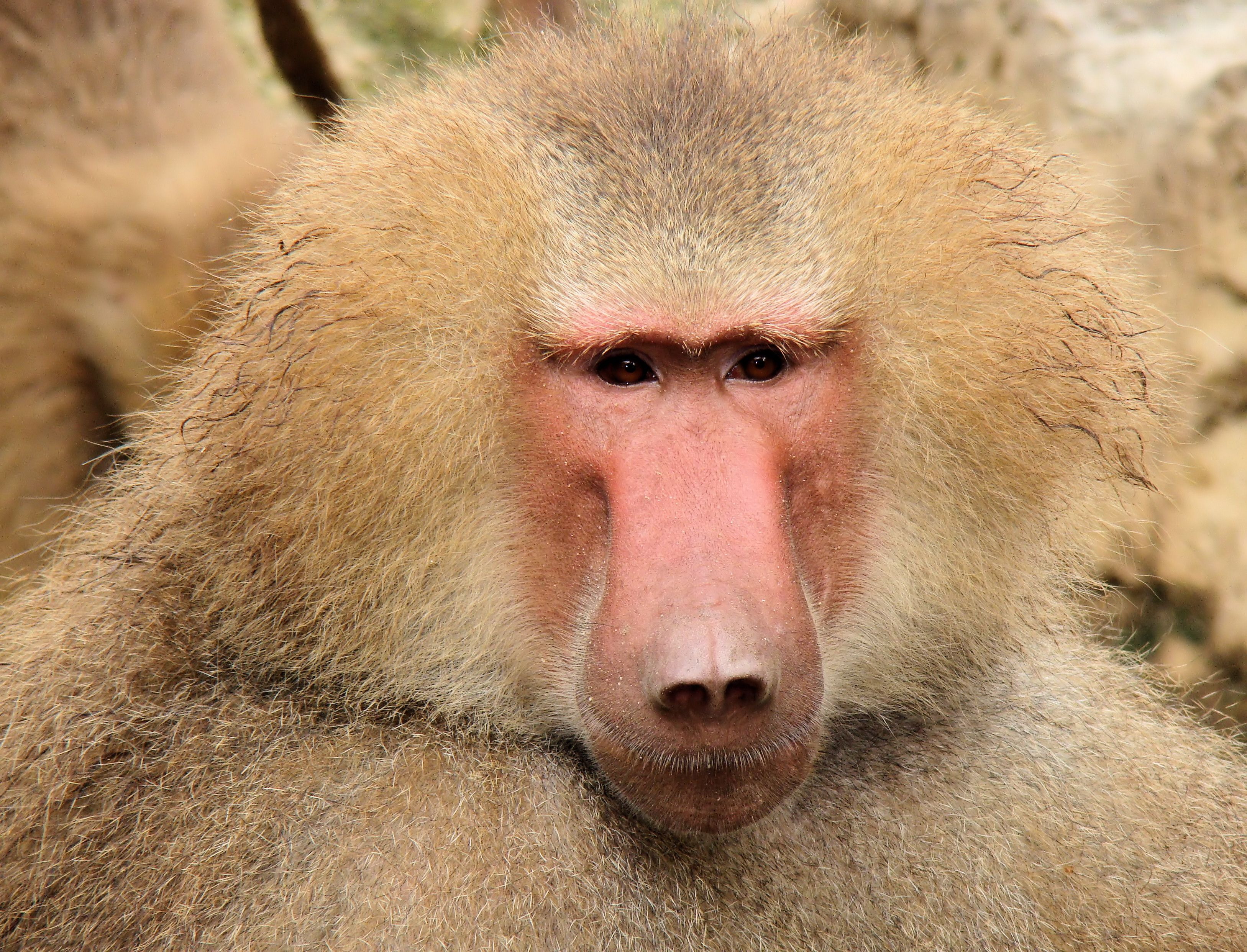 Baboon Wallpapers Images Photos Pictures Backgrounds