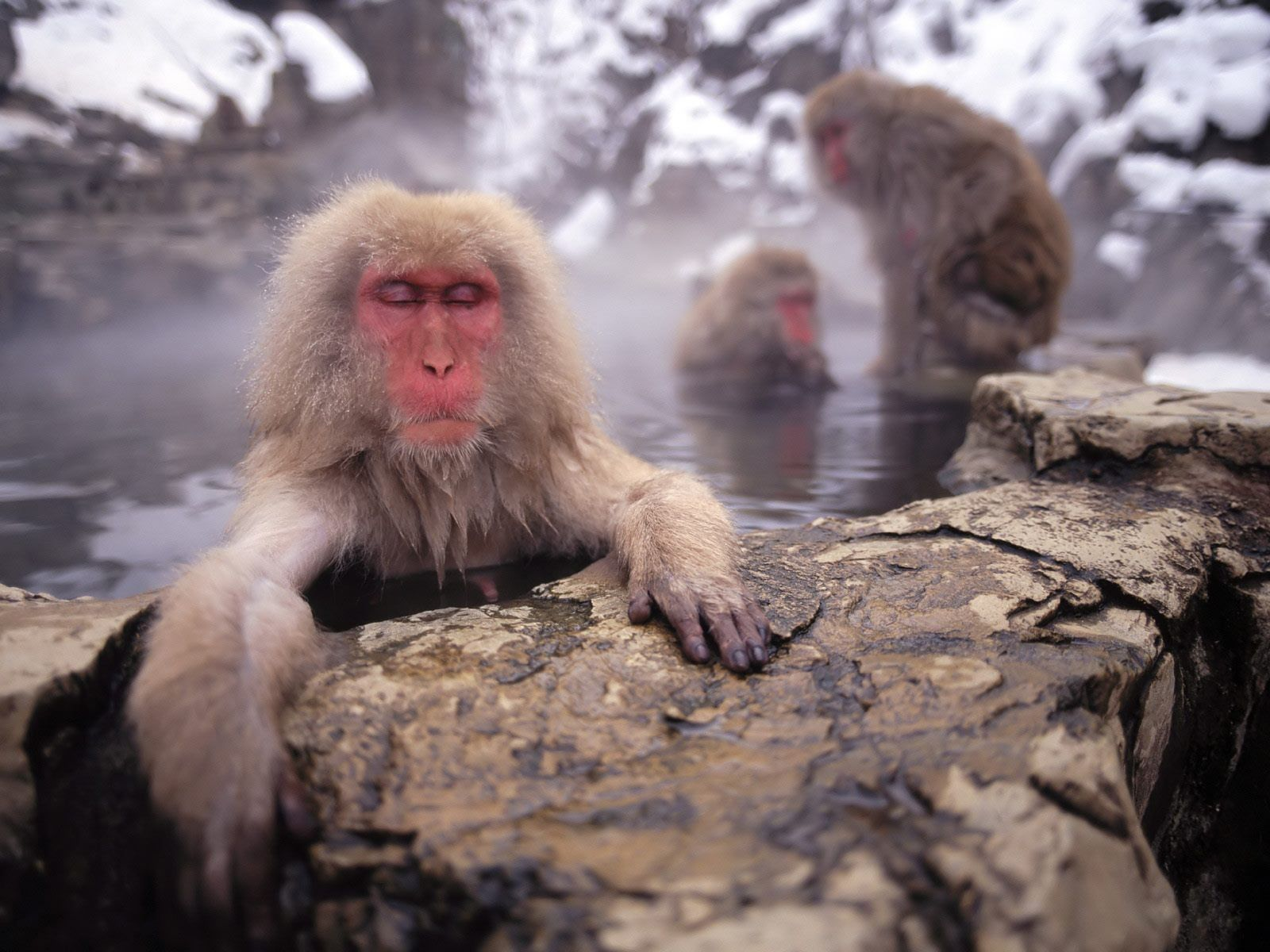 baboon Wallpaper and Background | 1600x1200 | ID:529209