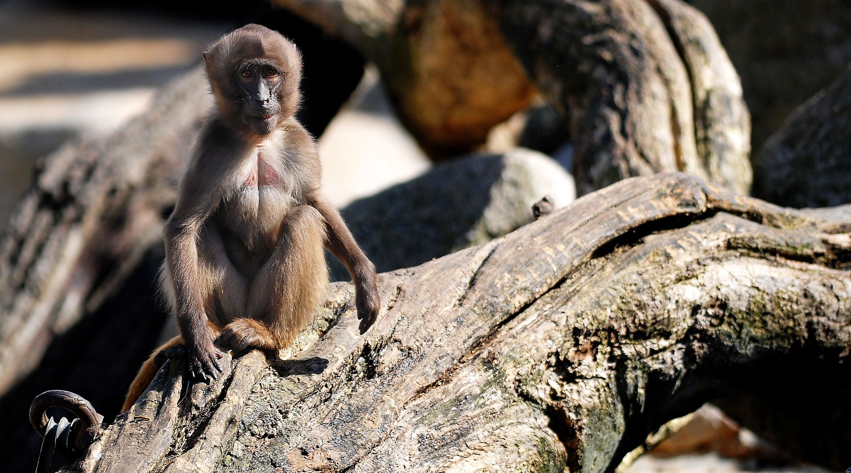 monkey primate baboon wallpaper download full free high resolution ...