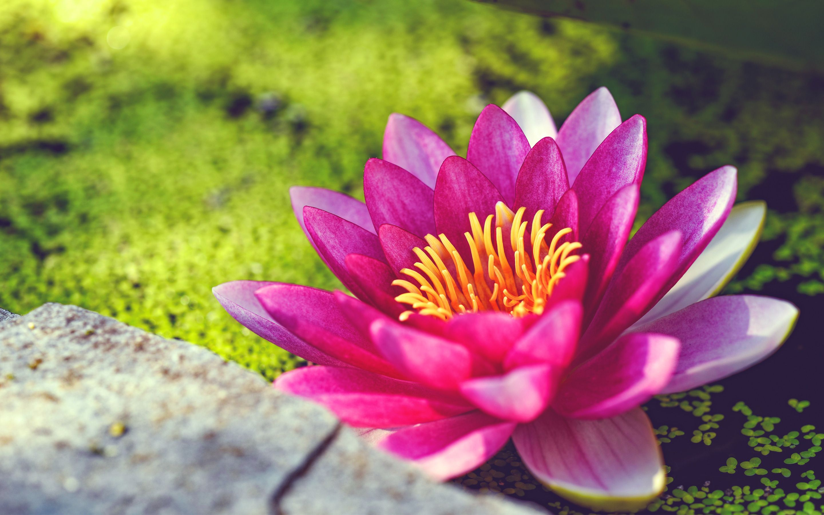 Pink Water Lily Flower Wallpapers | HD Wallpapers