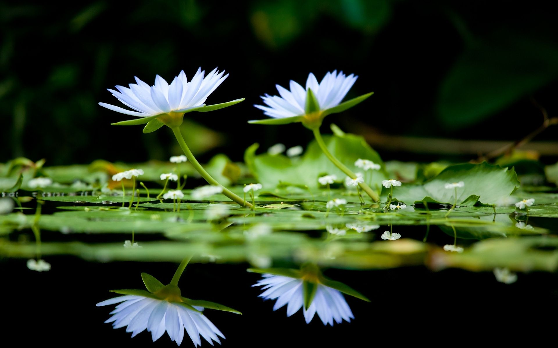 White Flowers On Water #6965806