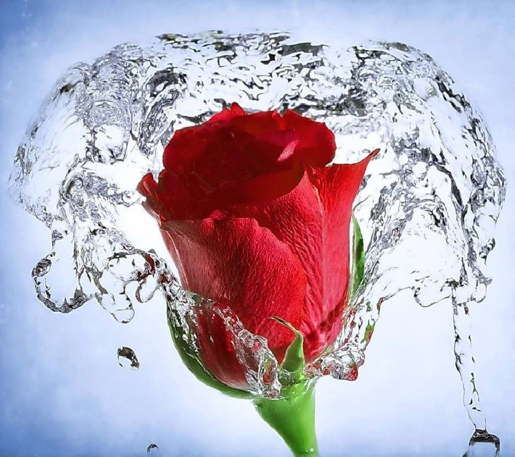 rose, Red Flowers, Splashes, Water, Flowers Wallpapers HD ...