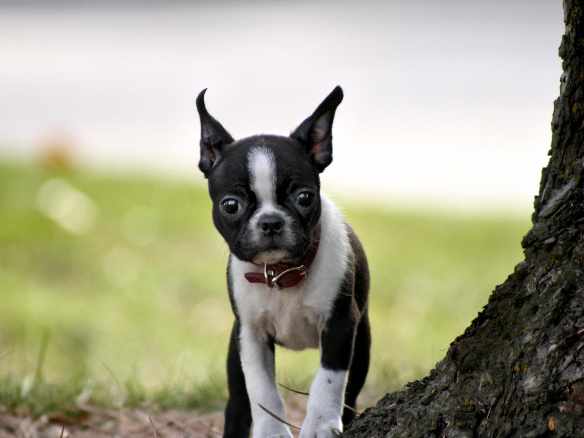 Cute Boston Terrier wallpaper | 2048x1536 | #12395