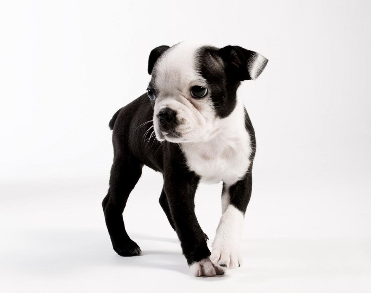 High Resolution Wallpaper of a Boston Terrier Puppy