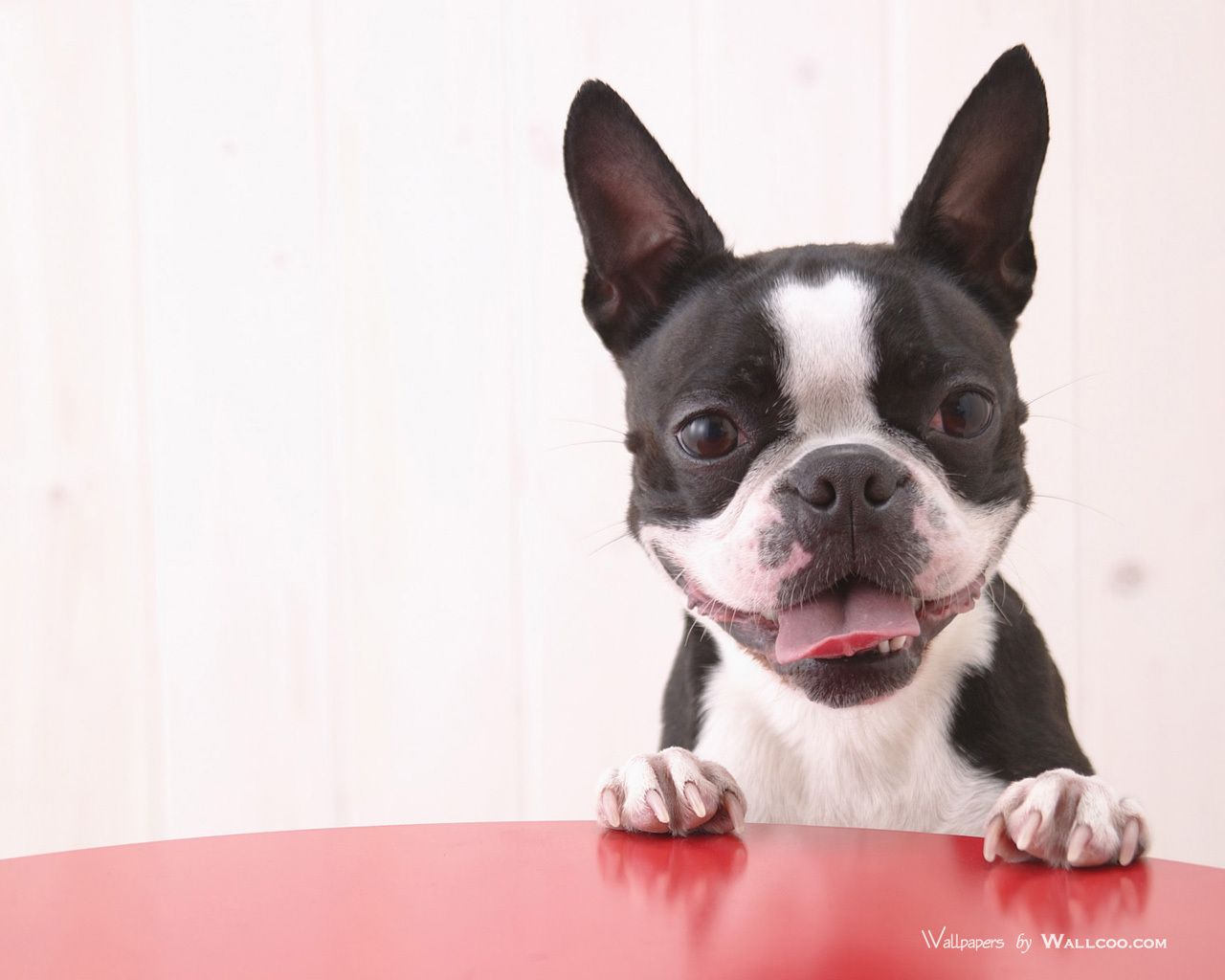 Boston Terrier Wallpapers Wallpaper | HD Wallpapers | Pinterest ...