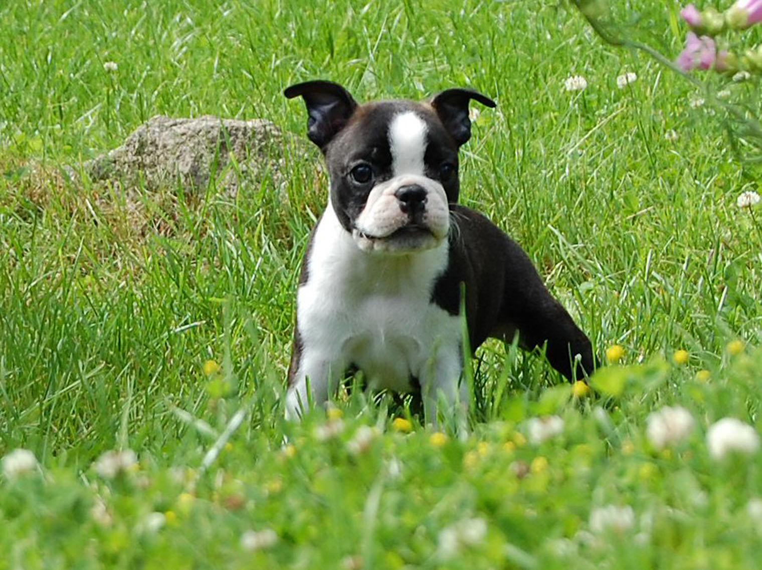 Boston Terrier on the meadow photo and wallpaper. Beautiful Boston ...