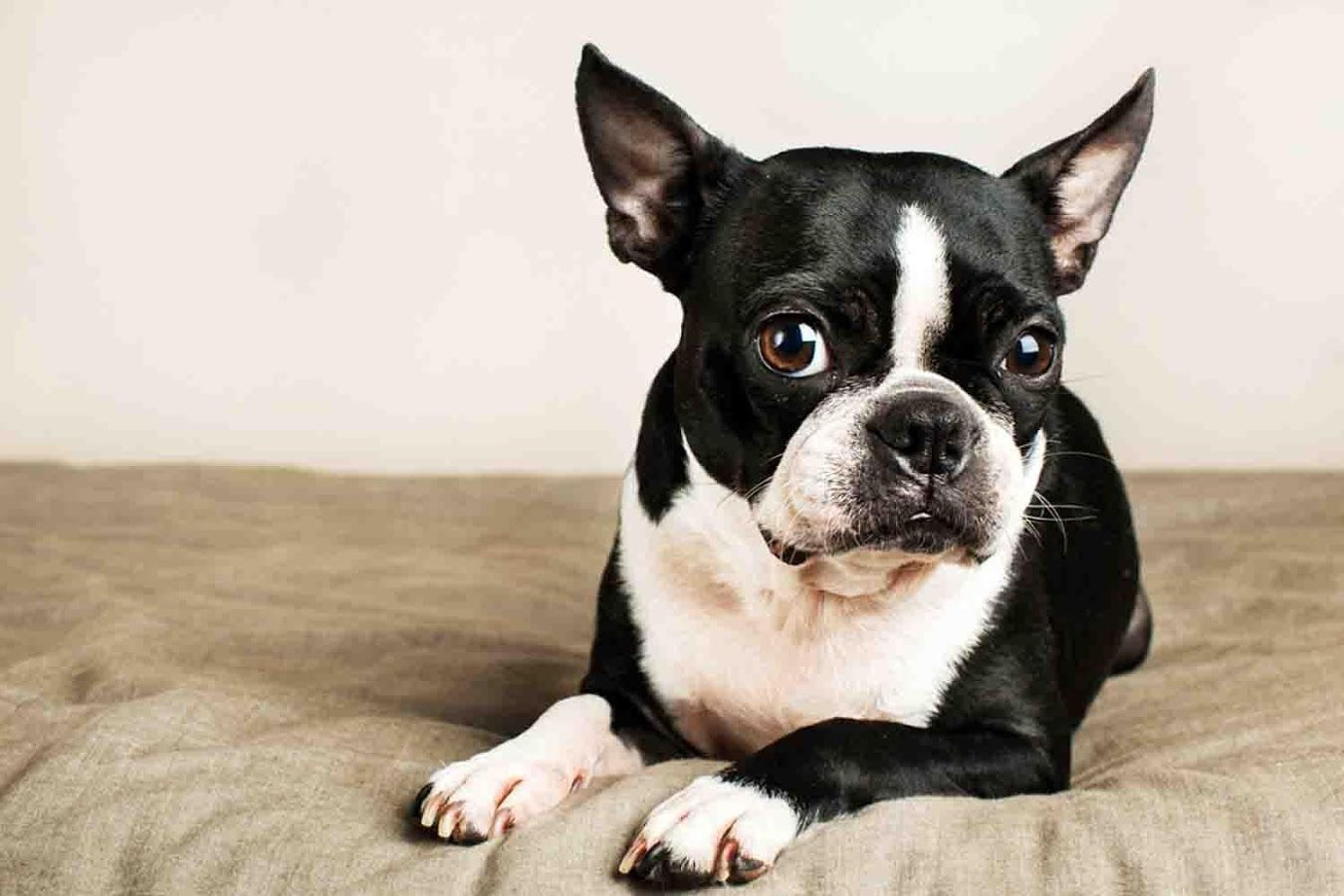 Boston Terrier Wallpapers - Android Apps on Google Play
