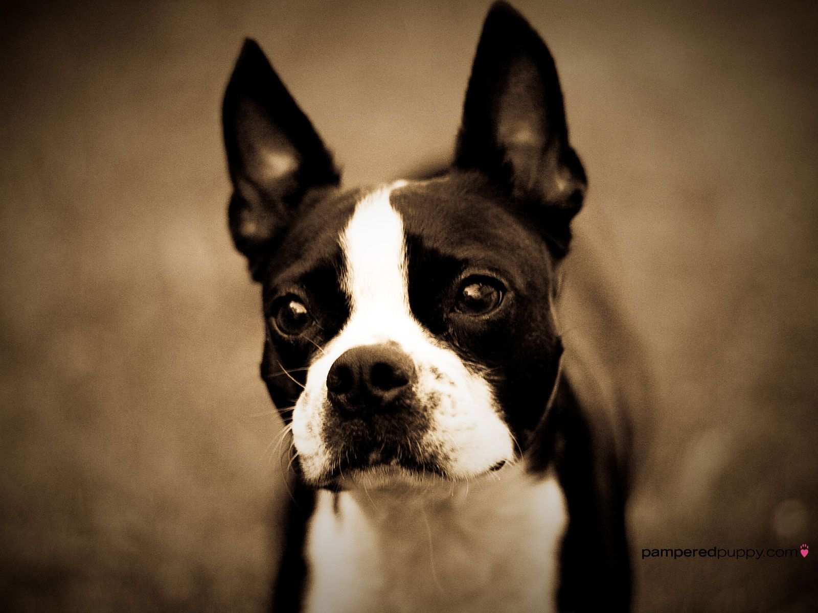 Boston Terrier | Boston Terrier - All Small Dogs Wallpaper ...