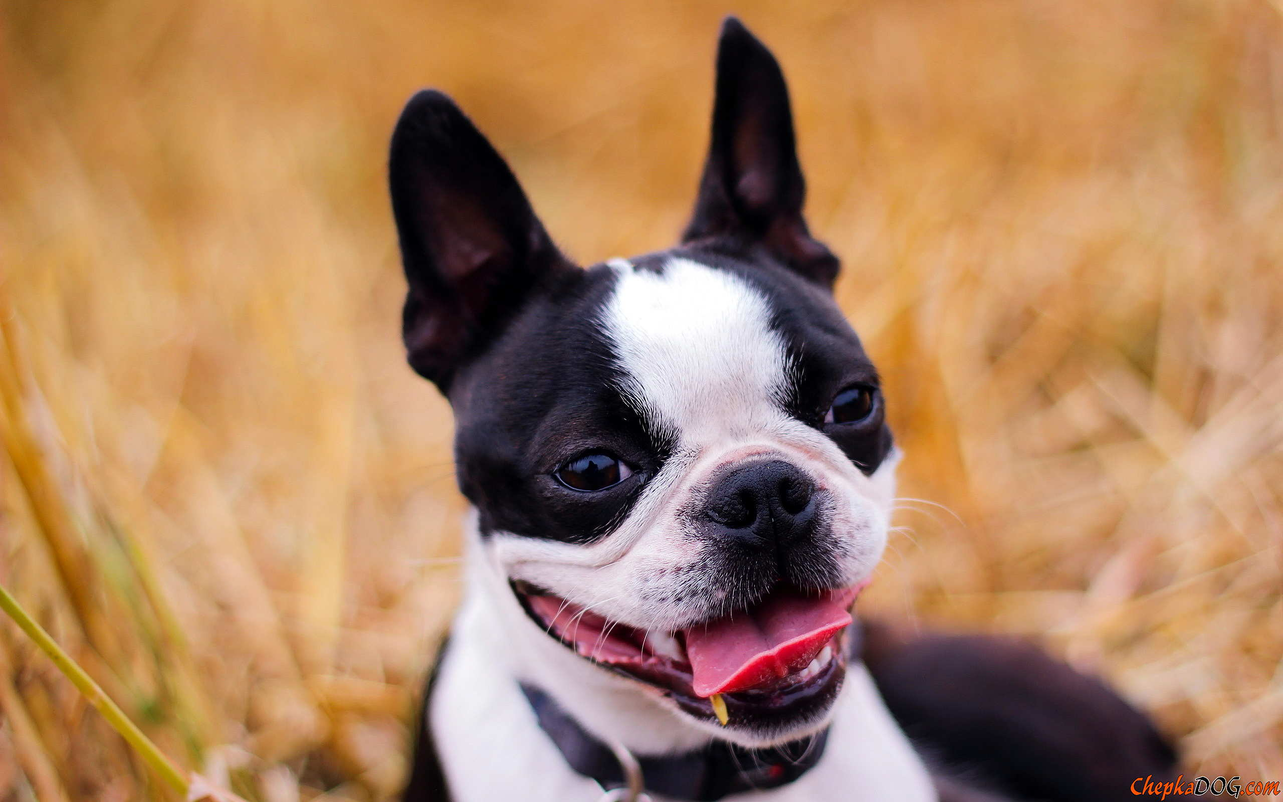 Boston Terrier wallpaper | 2560x1600 | #45823