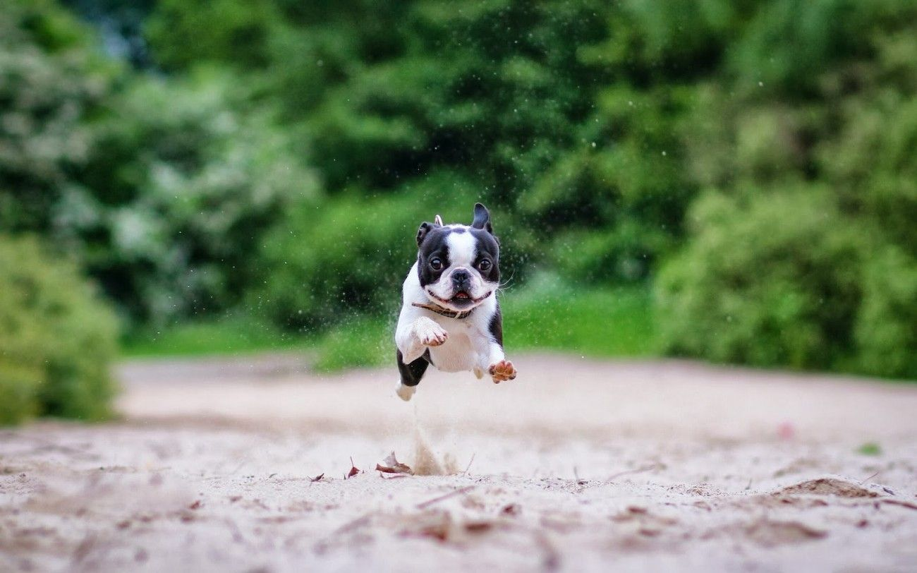 Boston Terrier Wallpapers Group (55+)