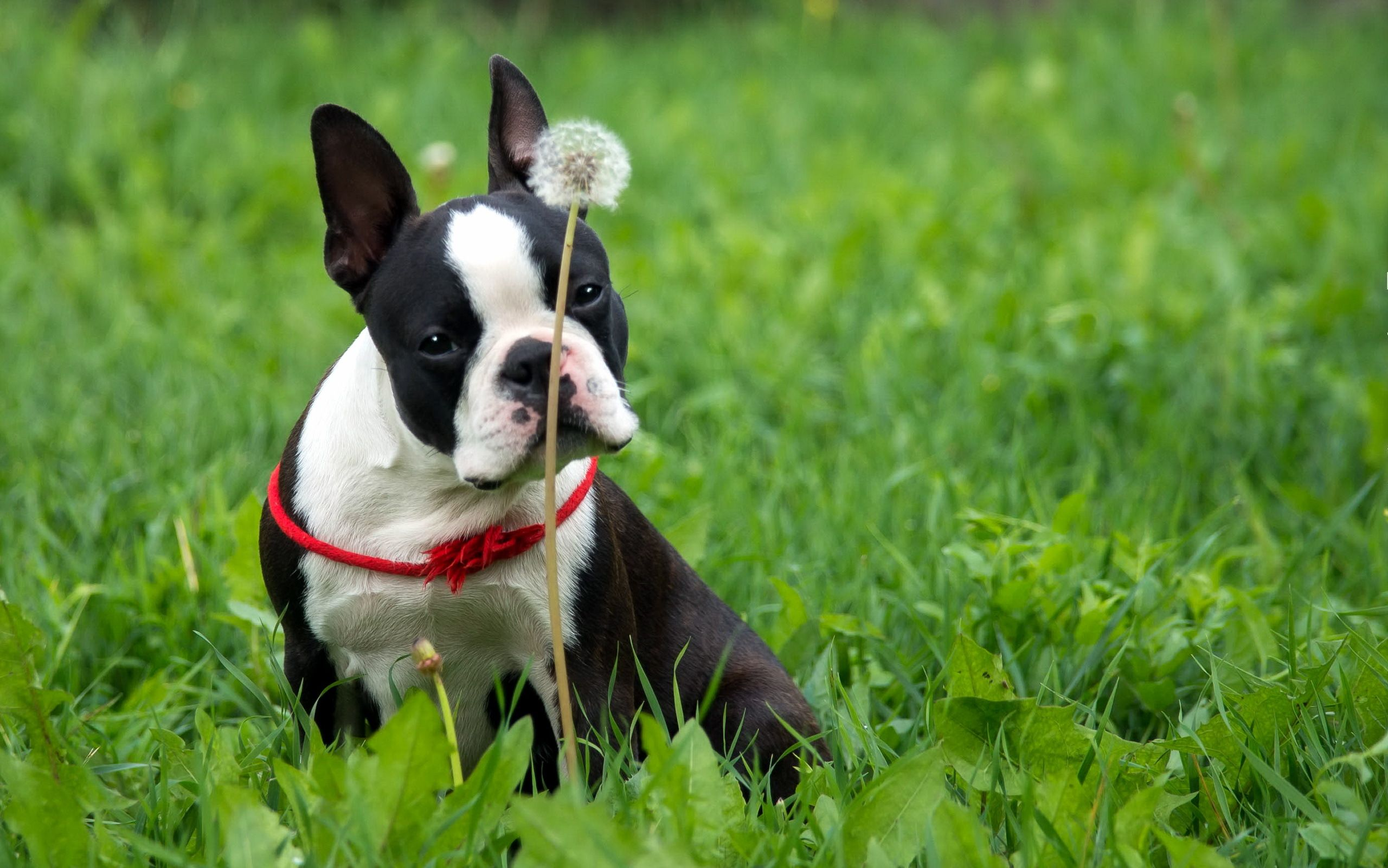 Boston Terrier #6837044