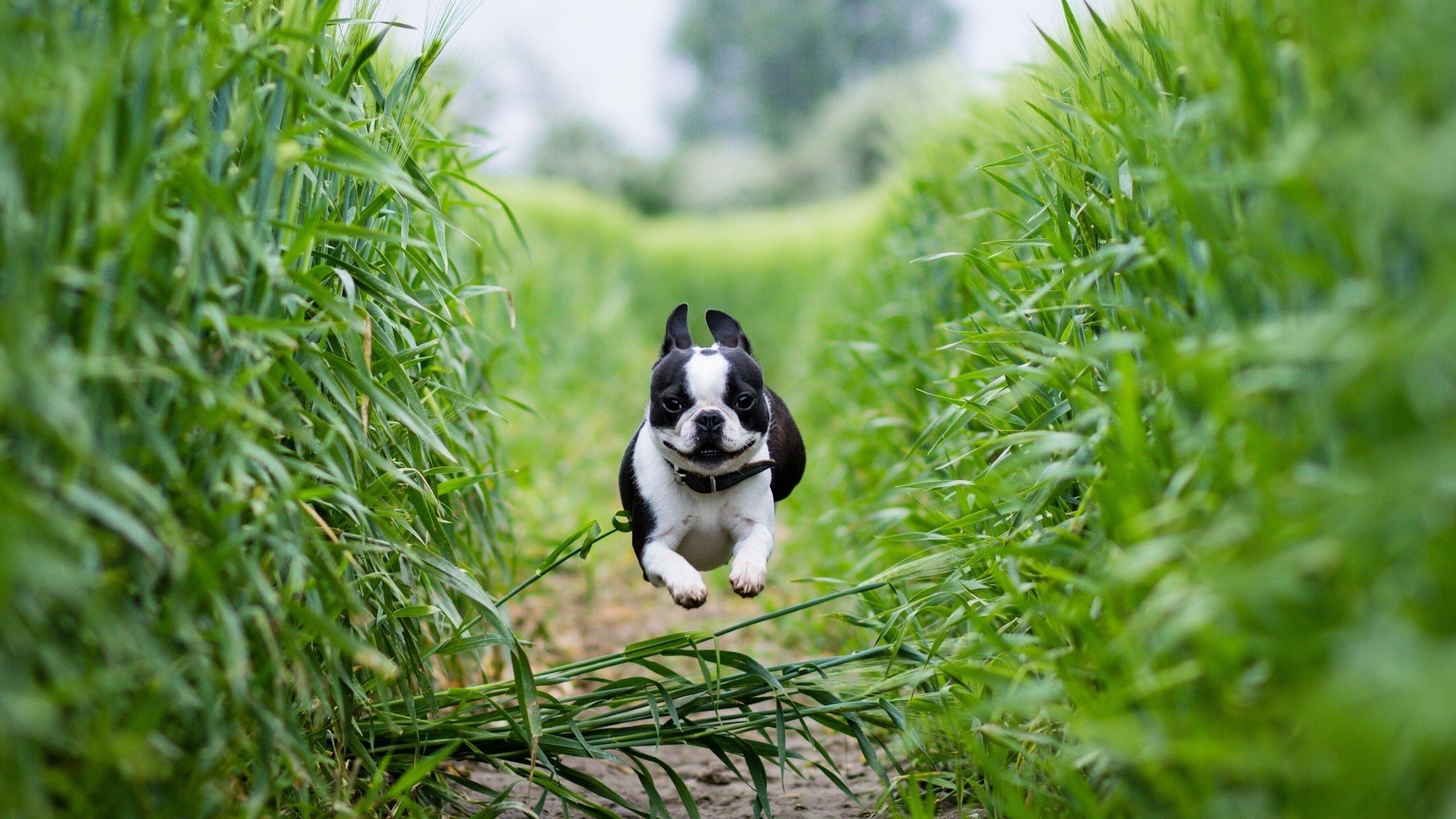 1080p Boston Terrier Dog Wallpaper Background