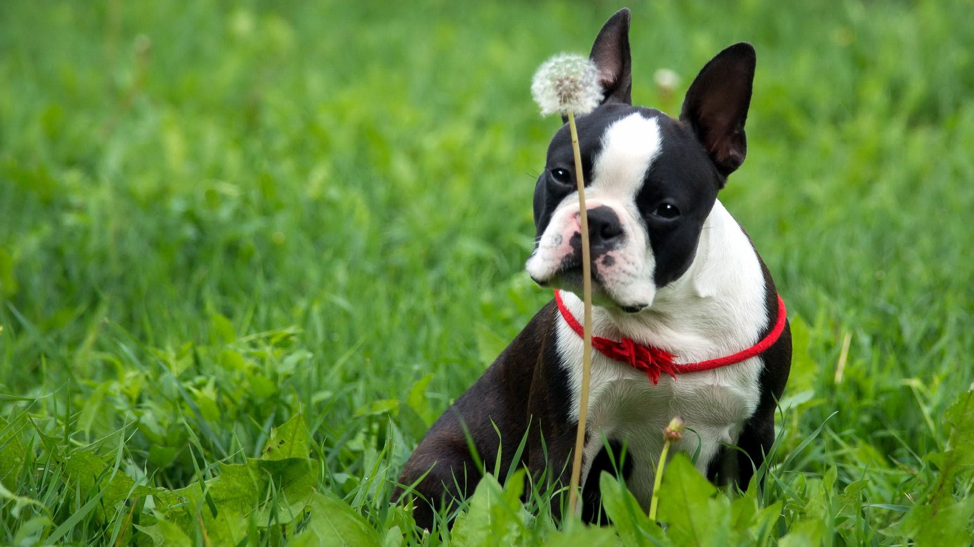 Boston Terrier Wallpaper Free Download - Page 2 of 3 - wallpaper.wiki