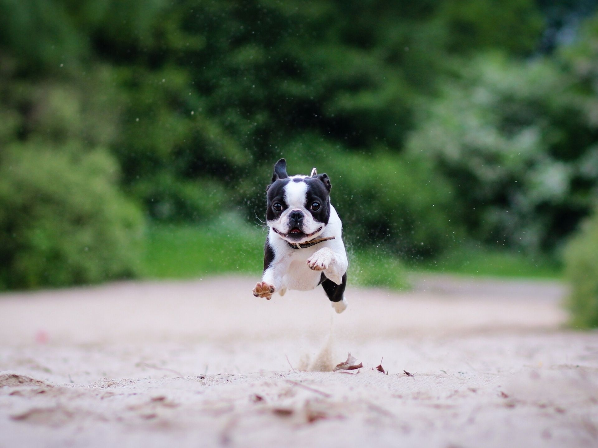 Boston Terrier Cartoon Funny | galleryhip.com - The Hippest ...