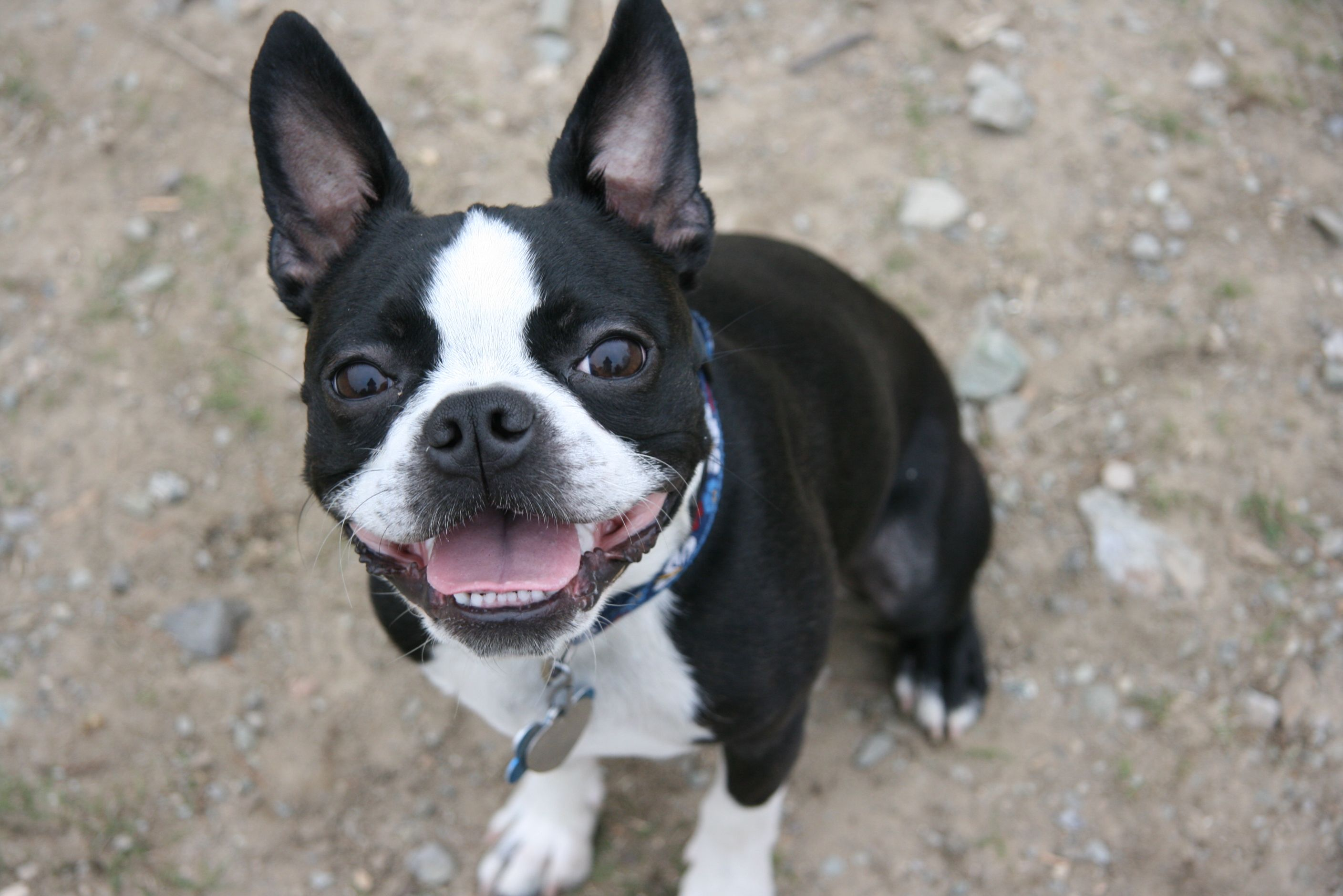New Boston Terrier Pictures View #926665 Wallpapers | RiseWLP