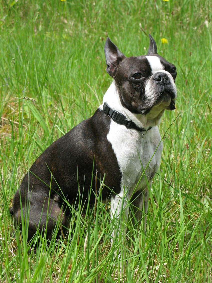 Boston Terrier Mix - wallpaper.