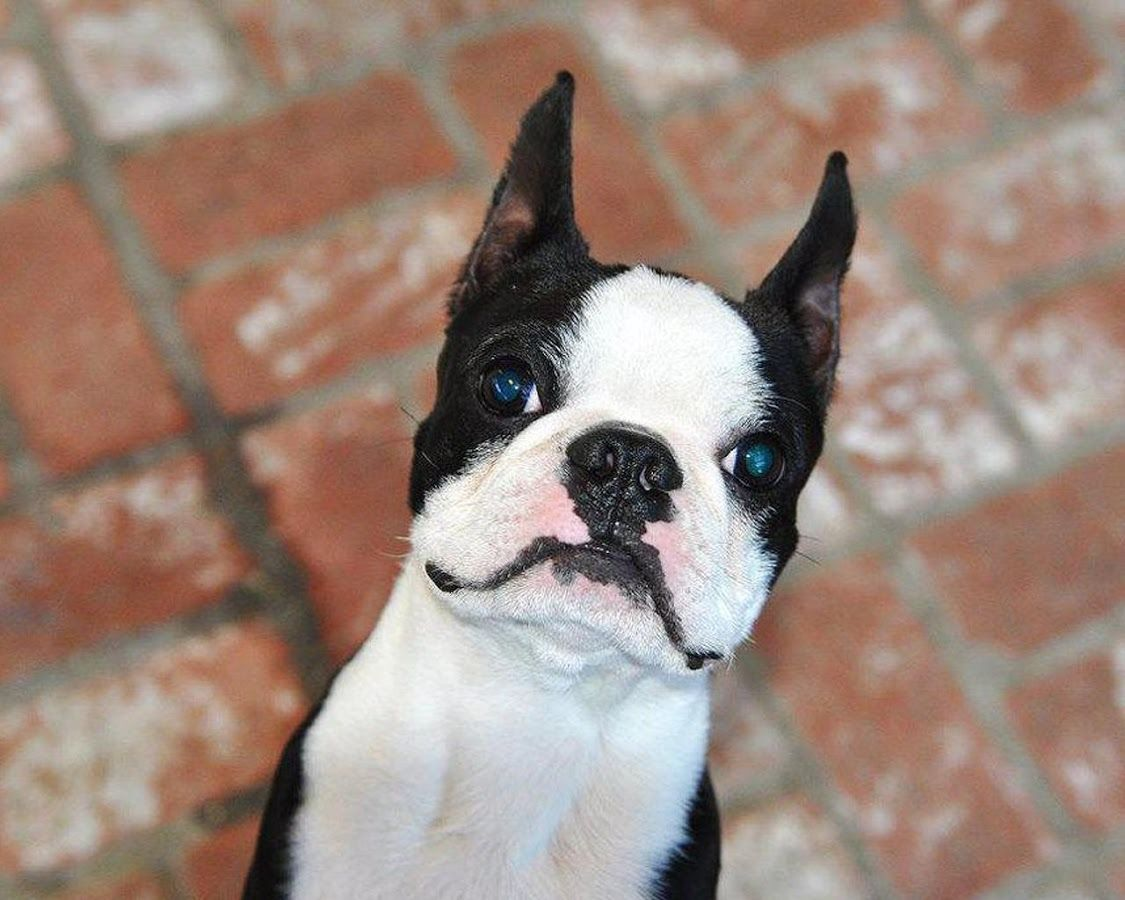 Boston Terriers Wallpapers - Android Apps on Google Play