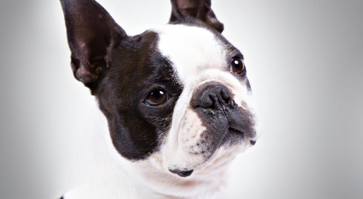 1216x668px Boston Terrier Browser Themes & Desktop Wallpapers