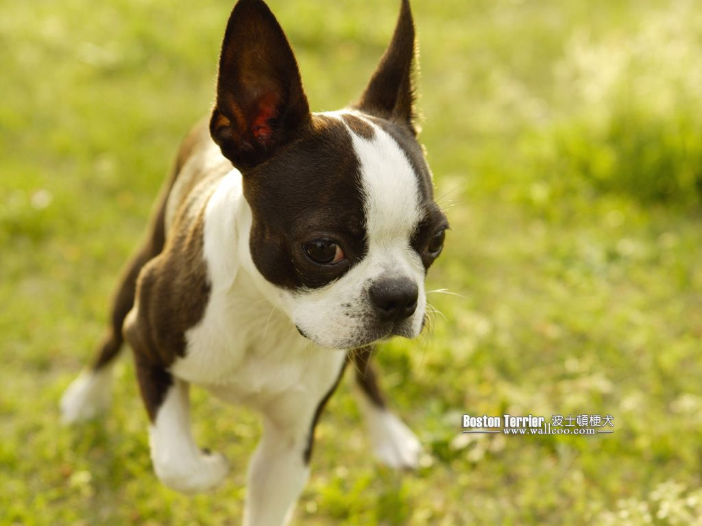 Boston Terrier Puppies Picture 5 | dogs | Pinterest | Terrier ...