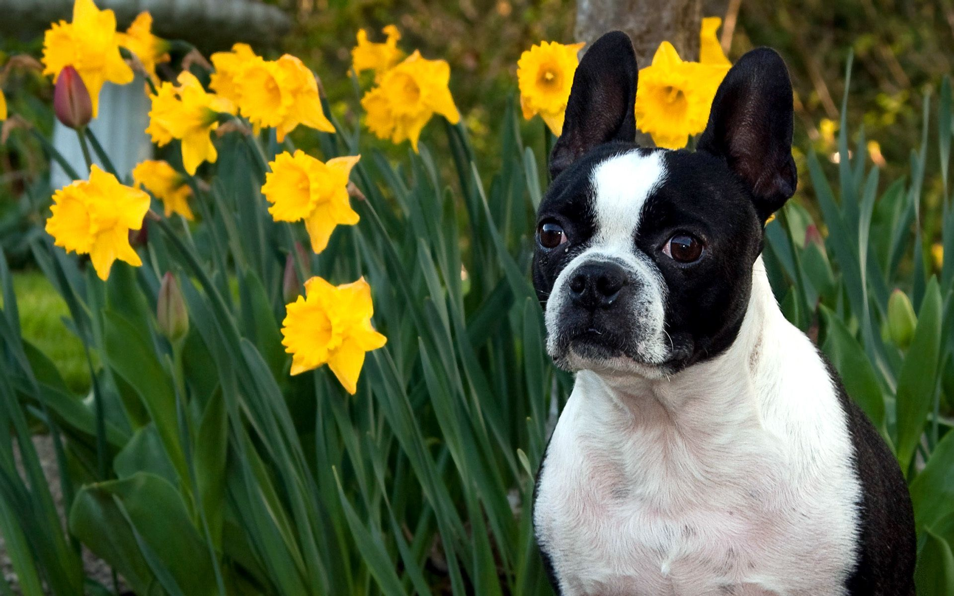 Boston Terrier Wallpaper Free Download - wallpaper.wiki