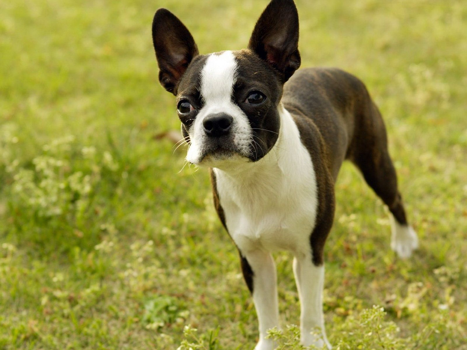 Boston Terrier Desktop Background - wallpaper.wiki