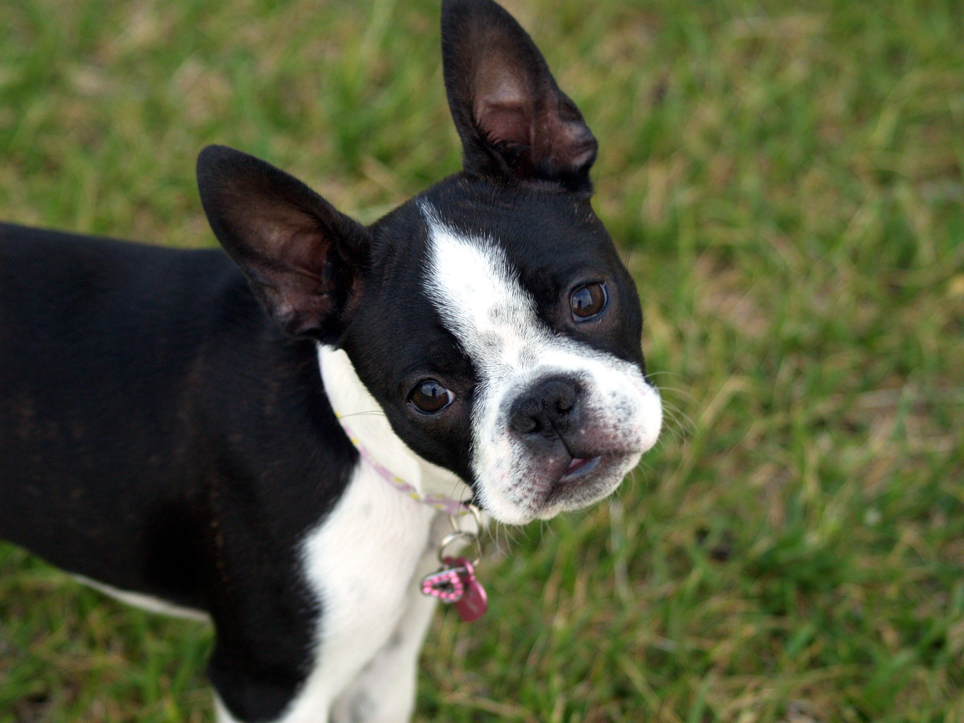 Wallpaper Boston terrier, Puppy, Face, Surprise, Walk HD, Picture ...