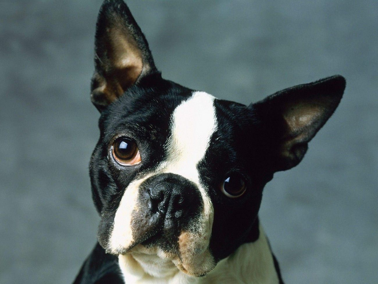 Boston Terrier Dog Wallpaper | Animals | Pinterest | Dog wallpaper ...
