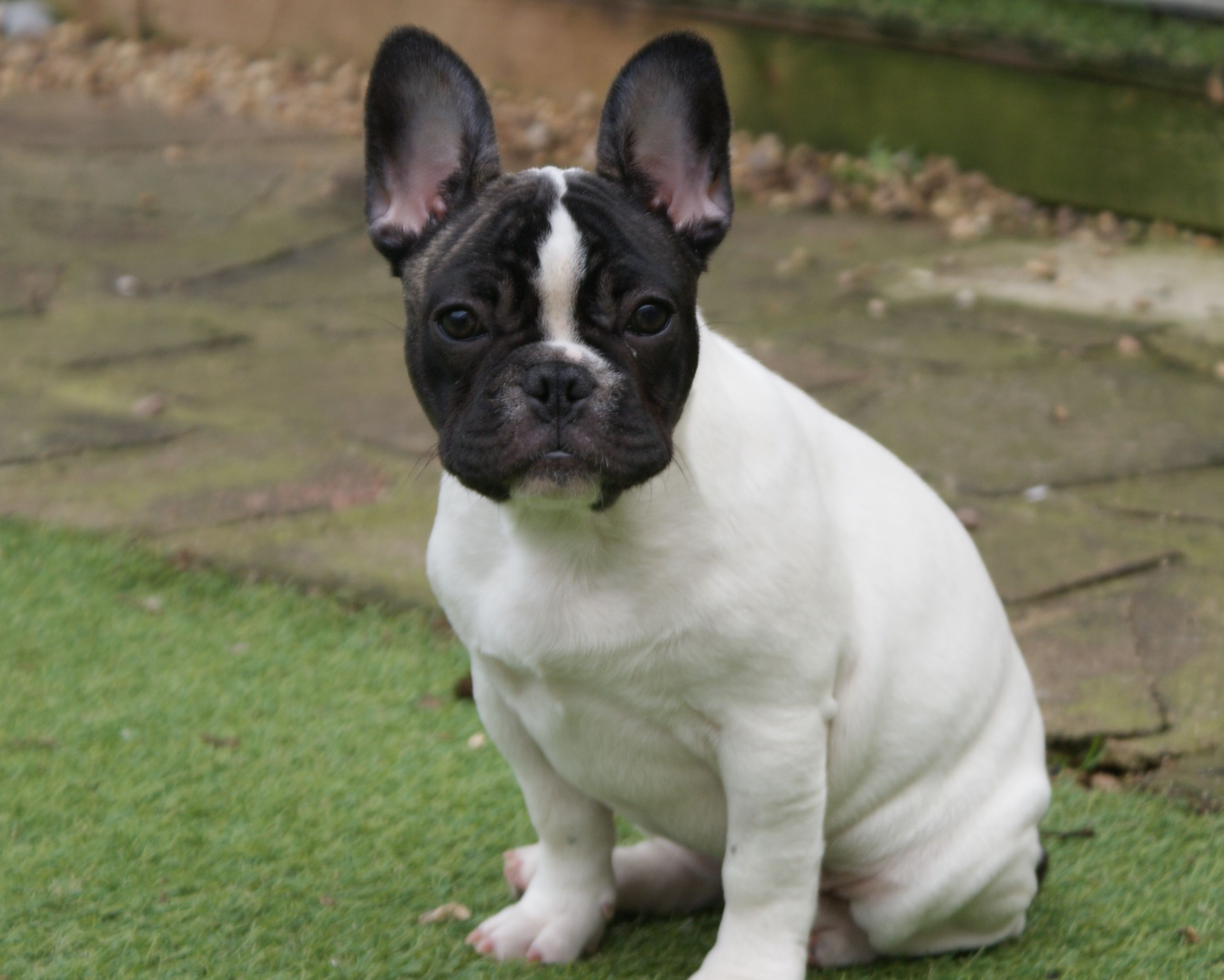 French Bulldog Boston Terrier Mix HD Wallpaper Animal » Forkyu.com ...