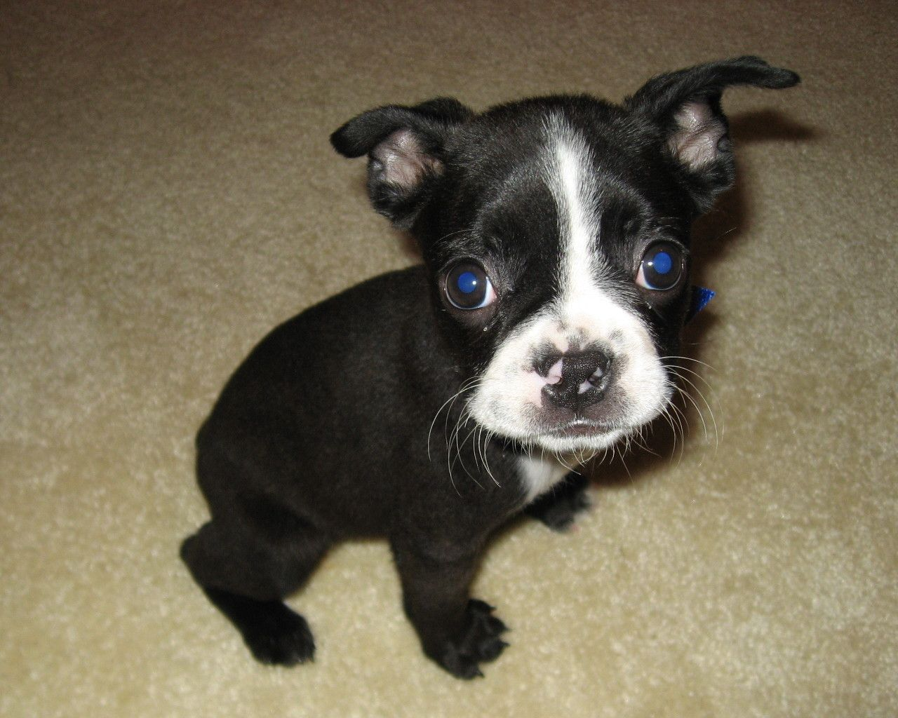 File:Boston Terrier Puppy Zoya.jpg - Wikipedia