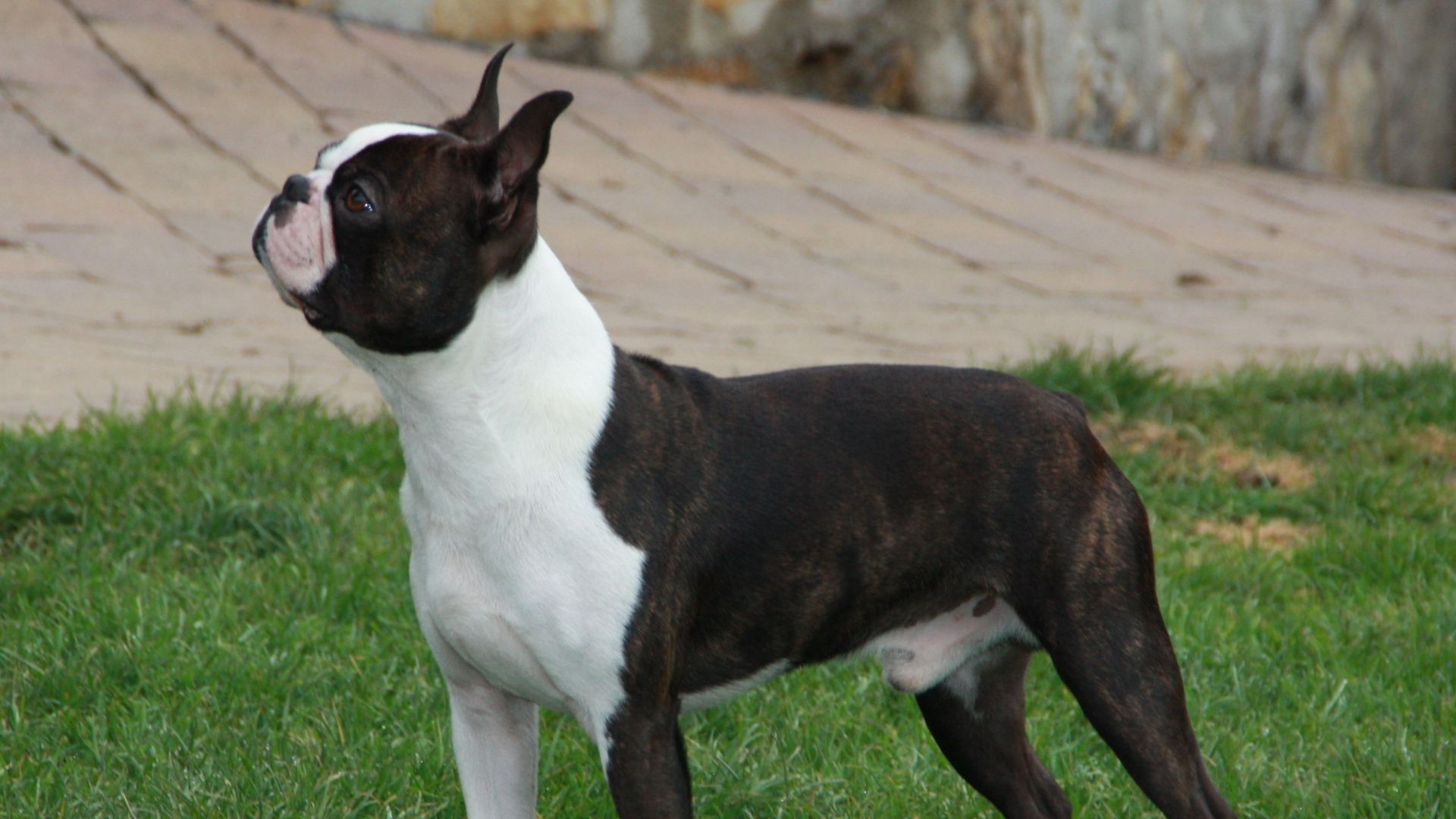 Download Wallpaper 1920x1080 boston terrier, dog, spotted, walk ...