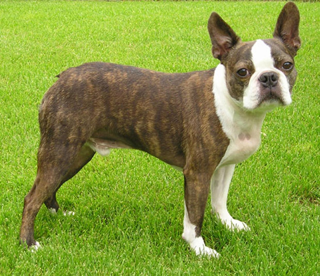 Boston Terrier Lucky photo and wallpaper. Beautiful Boston Terrier ...