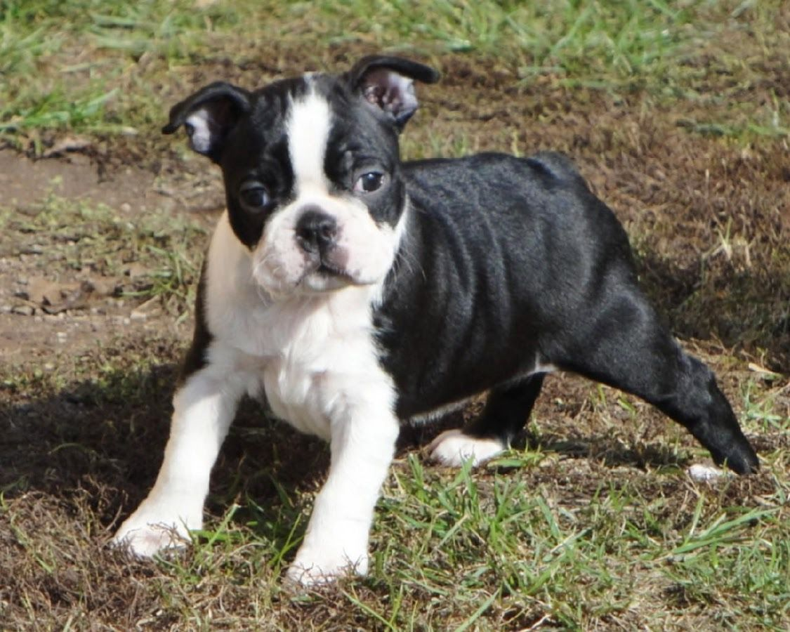 Boston Terrier Dogs Wallpapers - Android Apps on Google Play