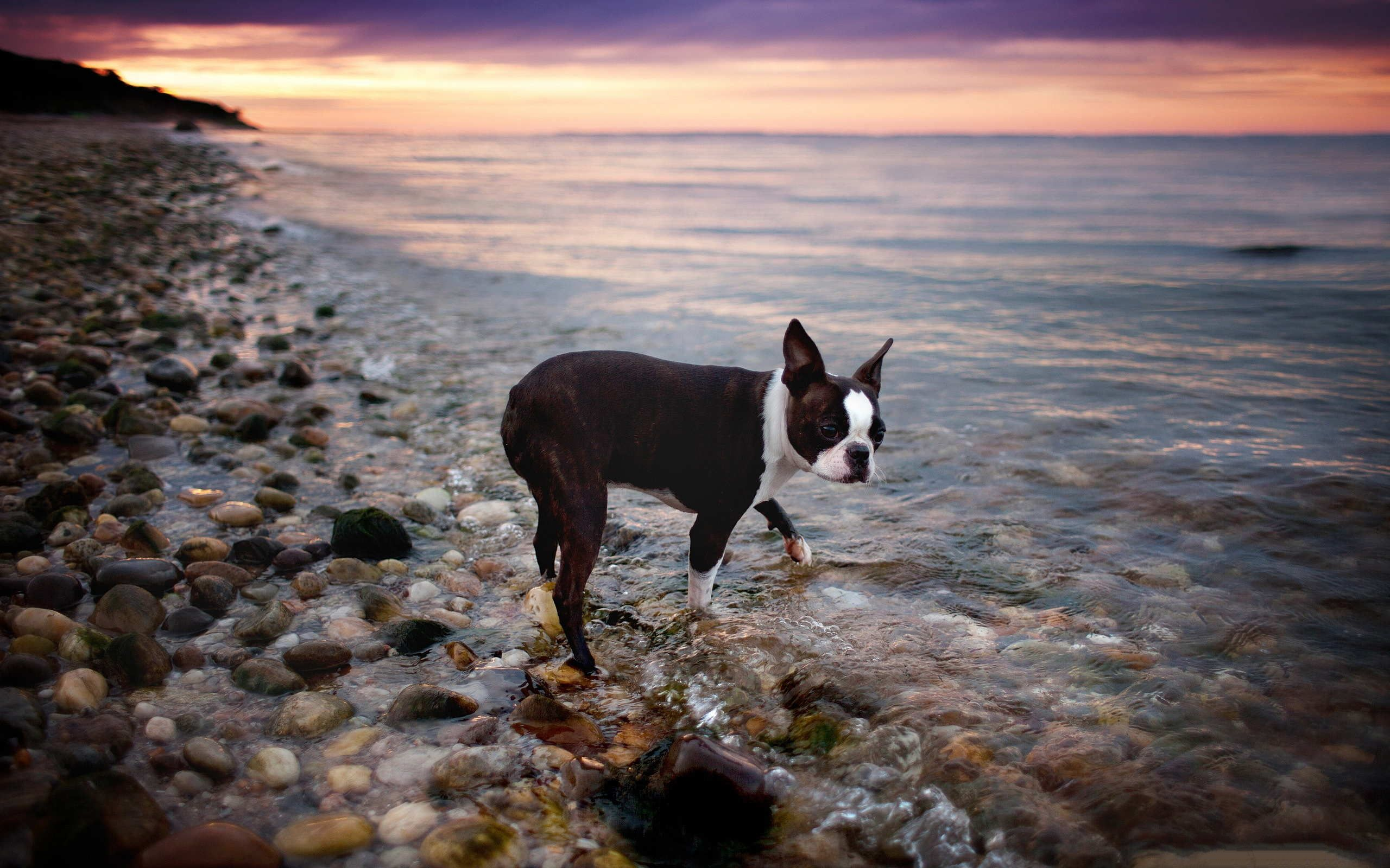 Boston Terrier Wallpaper - The Wallpaper