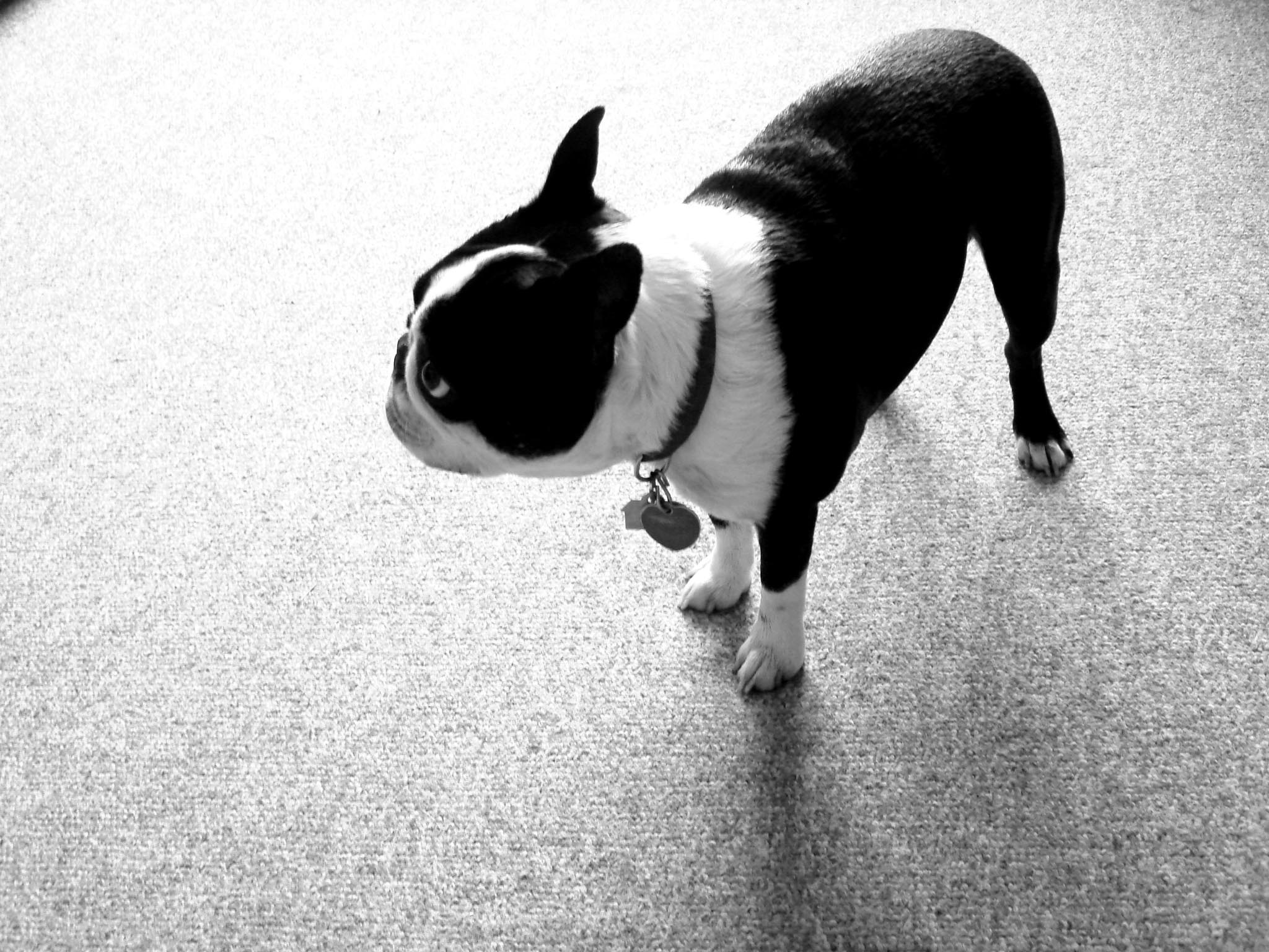 46+ Boston Terrier Wallpapers