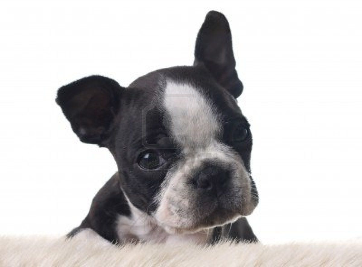 Dog Wallpaper: White Boston Terrier Puppy high quality wallpaper