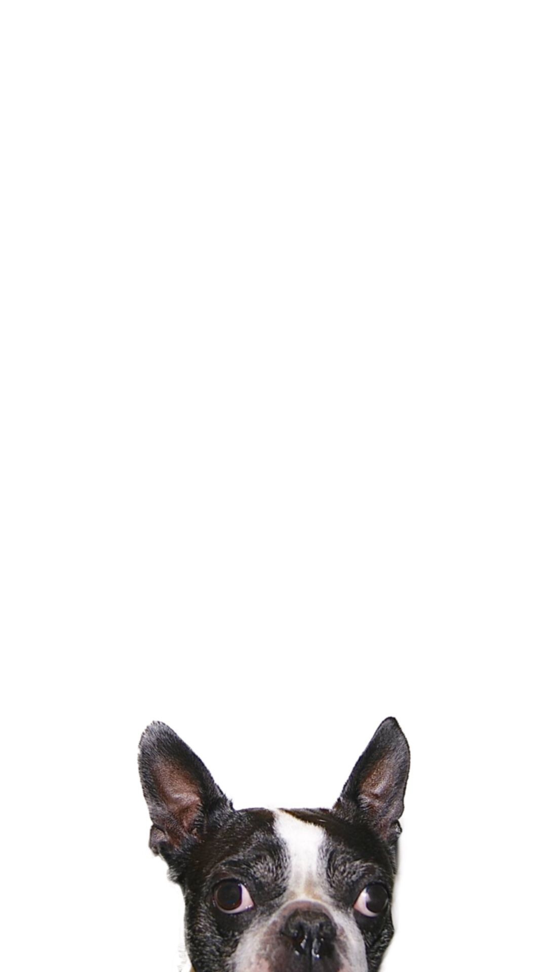 Boston Terrier Clipart Wallpaper #2577843