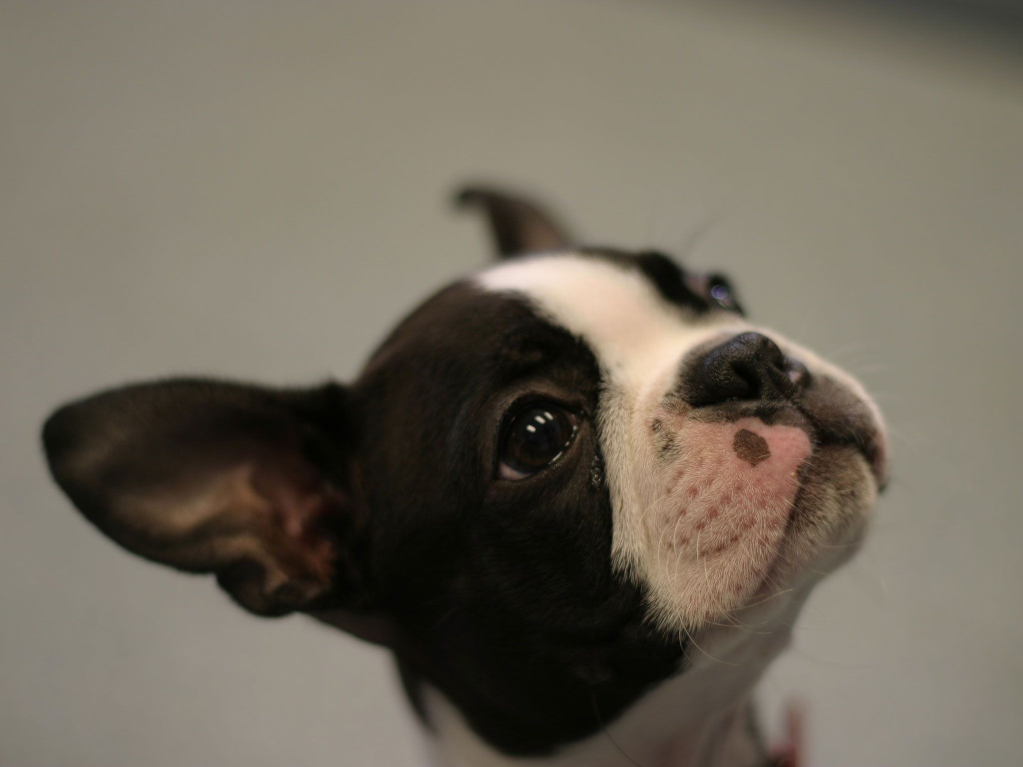 Full HD - Boston Terrier - Adorable Boston Terrier Wallpapers